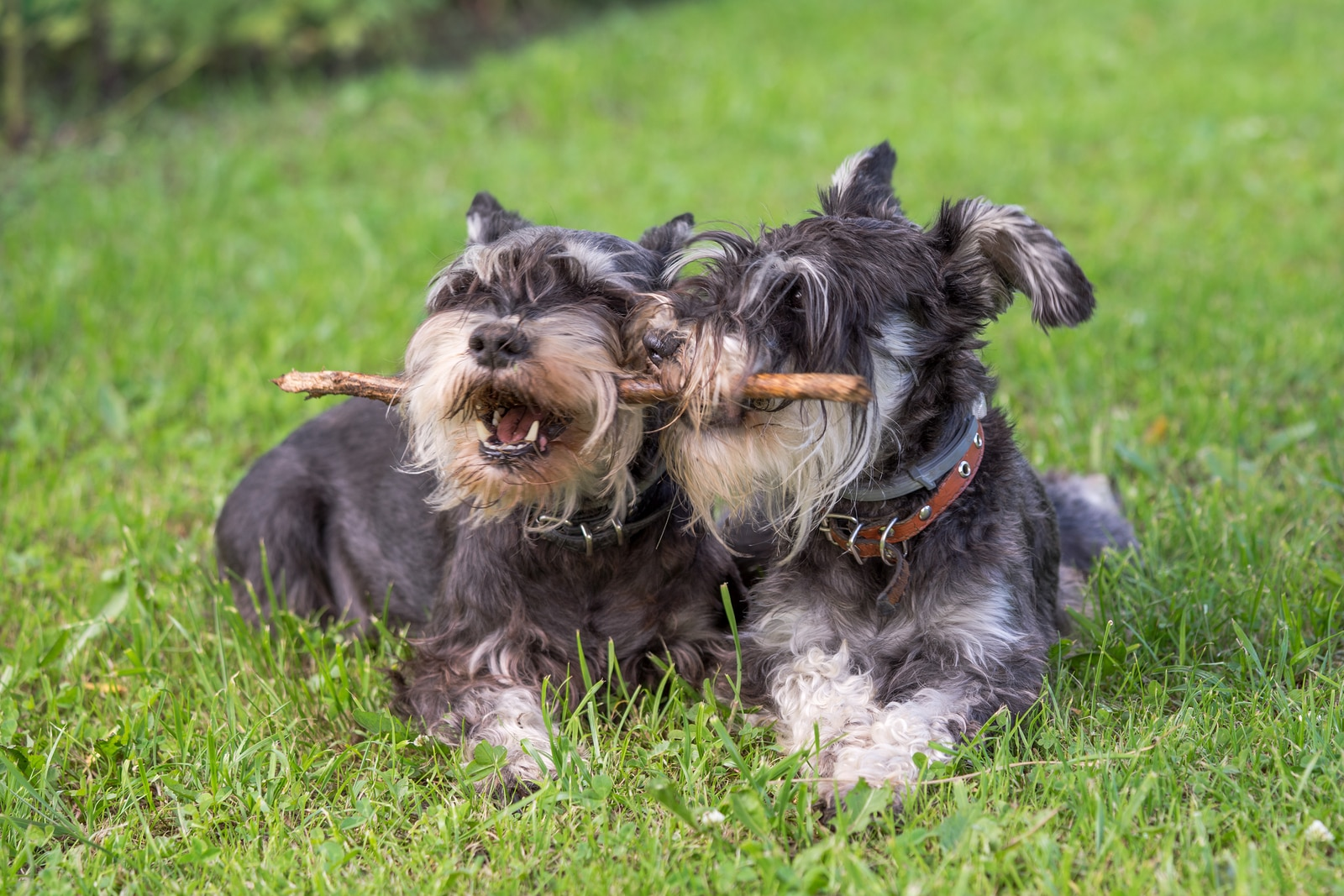 Two black and silver miniature schnauzer dogs chewing on the same stick.