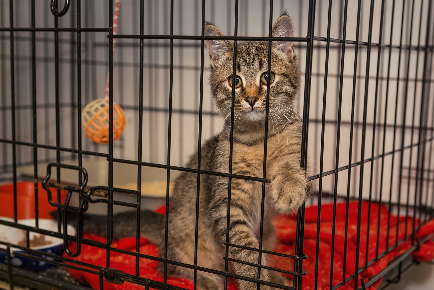 Little kitten in the shelter elegantly posing in a cage