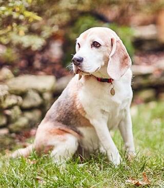 articulația doare câinele